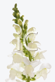 Isolated shot of a white flower with the detail of a petal in focus. Vertical shot.
