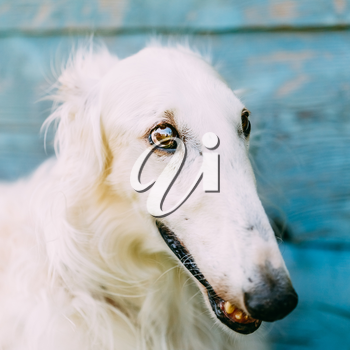 Dog Russian Borzoi Wolfhound Head