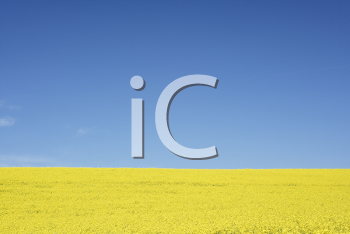 Royalty Free Photo of a Rapeseed Field