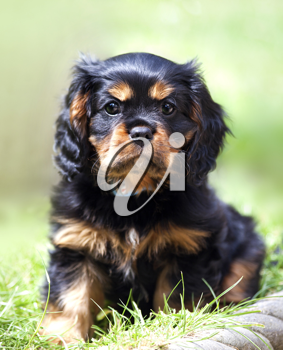 Marmaduke the black and tan Cavalier King Charles spaniel puppy
