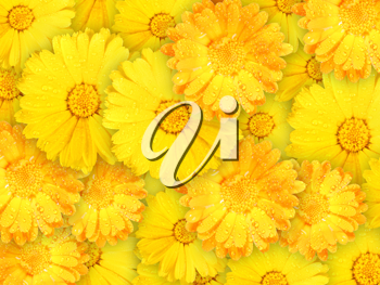 Abstract background of orange and yellow wet flowers for your design. Close-up. Studio photography.