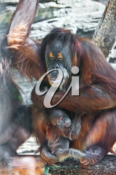 Great ape red Bornean Orangutan with cute baby