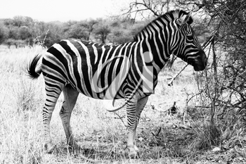 Beautiful, healthy Zebra standing proud in the South African Bushveld. Black and White Picture.