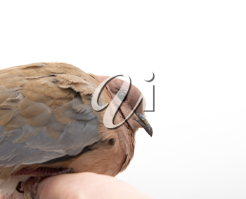 Portrait of a dove on a white background