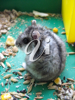 small grey hamster in the cell eats piece of cheese