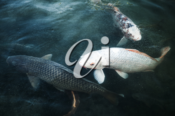 Group of big carps floats in blue water, stylized photo with blue tonal filter, selective focus and shallow DOF